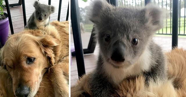 สุนัขโกลเด้น รีทรีพเวอร์ได้ช่วยชีวิต ทารกน้อยหมีโคอาล่าให้ความ อบอุ่น จนรอดตาย 🐶🐨🤲🏻🤝♥️🇦🇺