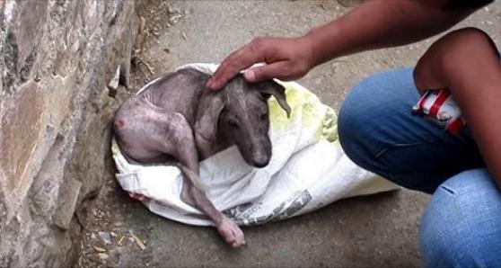 """สุนัขกำพร้าน้อยตัวหนึ่งที่บาดเจ็บ """" ซ่อน """" ตัวอยู่ในถุงด้วยความหวาดกลัว 🐶🐕🤕😞🛍😥🤲🏻♥️🇮🇳"""