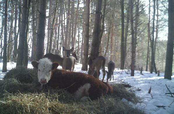 วัวหลบหนีจากโรงฆ่าสัตว์มาอาศัยอยู่กับฝูงกวางจนกลายเป็น สมาชิกครอบครัว กวางไปเลย 🐮🐄🦌🤲🏻✌🏻♥️