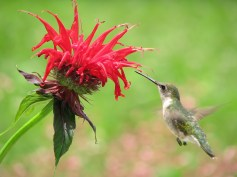 A female Ruby Throat Hummingbird feeds at a red Bee Balm flower in the garden.