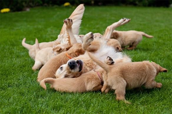 Golden Retriever rolling around in green grass with her puppies.