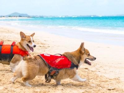 two corgis wearing dog life jackets