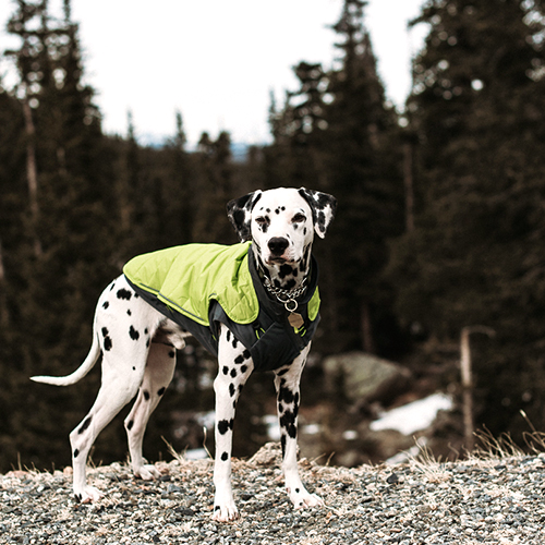 dog wearing coat for fall