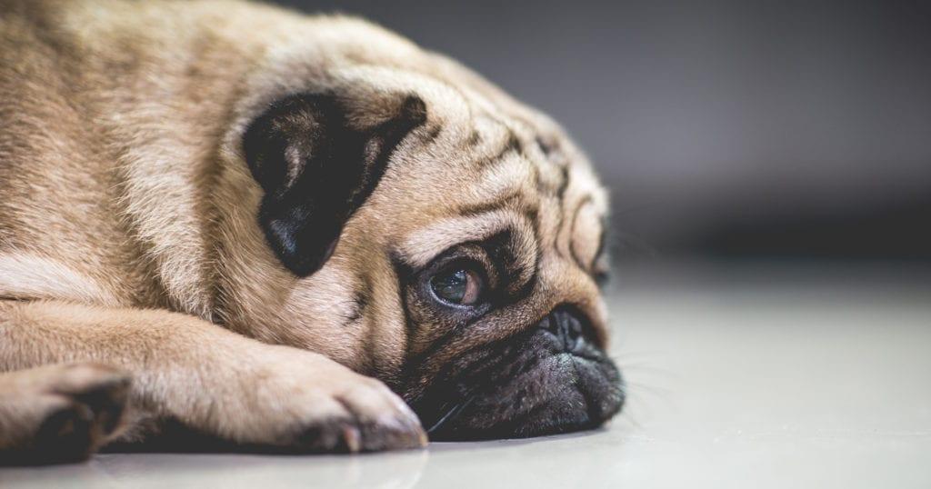 tired pug on floor