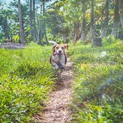 beagle running in grass. foxtails and dogs