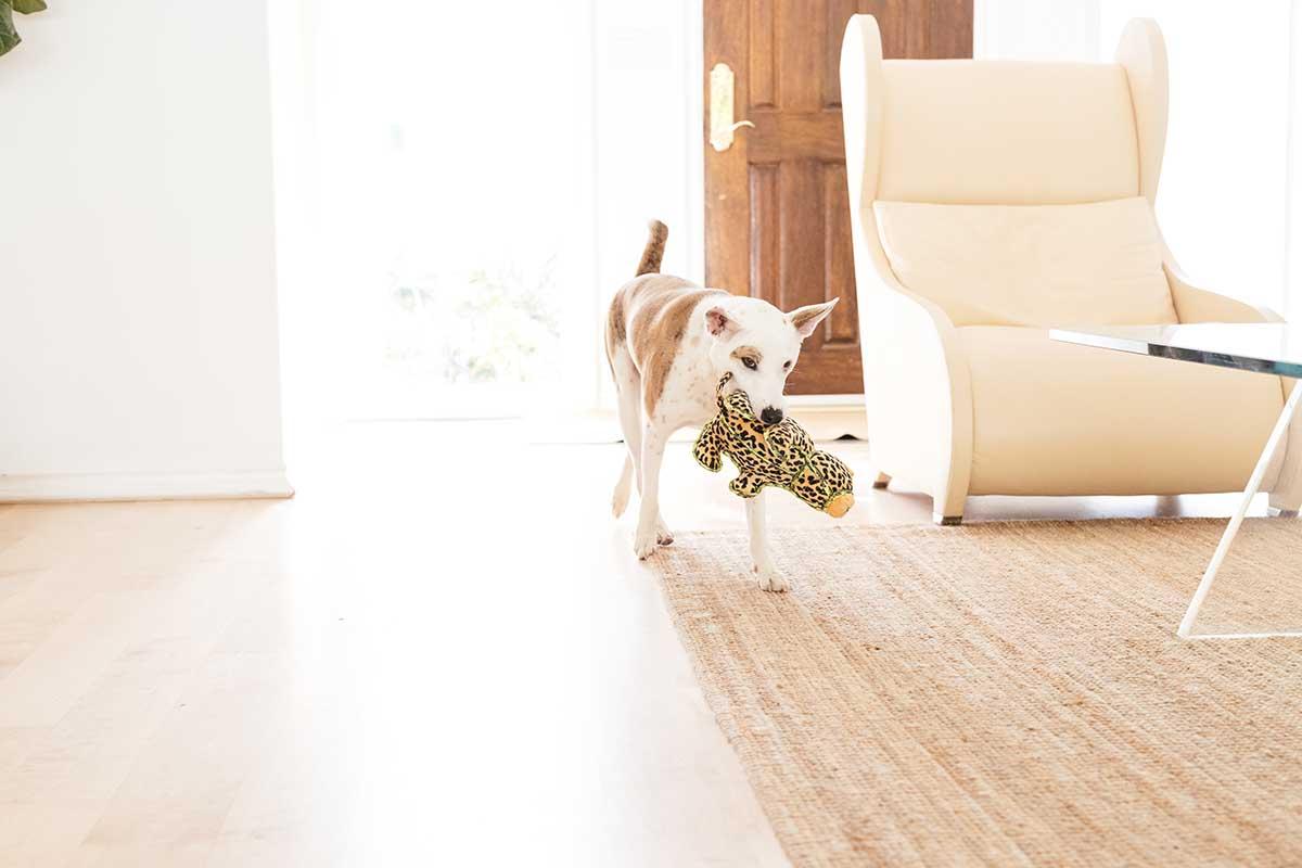 dog playing at home