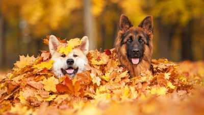 dogs in a pile of leaves