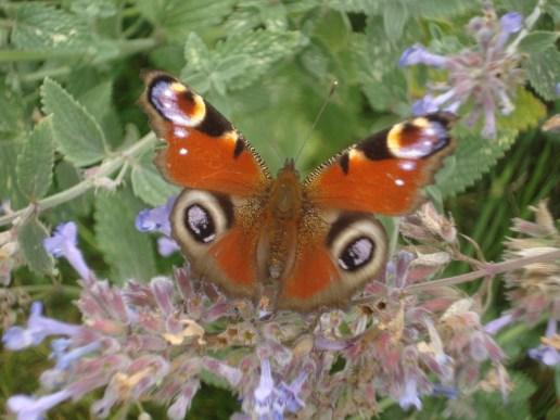 Flitter, Flutter, Peacock Butterfly