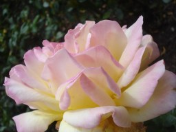 and another Rose