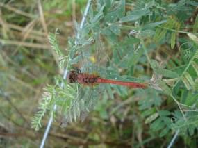 Common Darter Dragonfly - Sympetrum striolatum