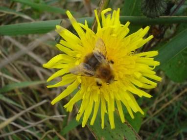 worker Common Carder-bee Bombus agrorum