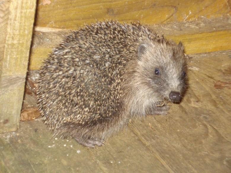 Prickles the Hedgehog
