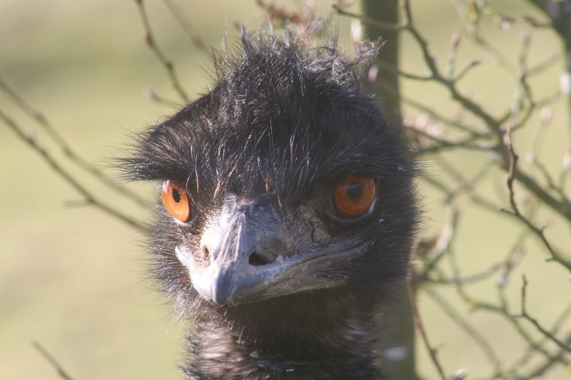 Emu Eyes - My Sunday Photo 180218
