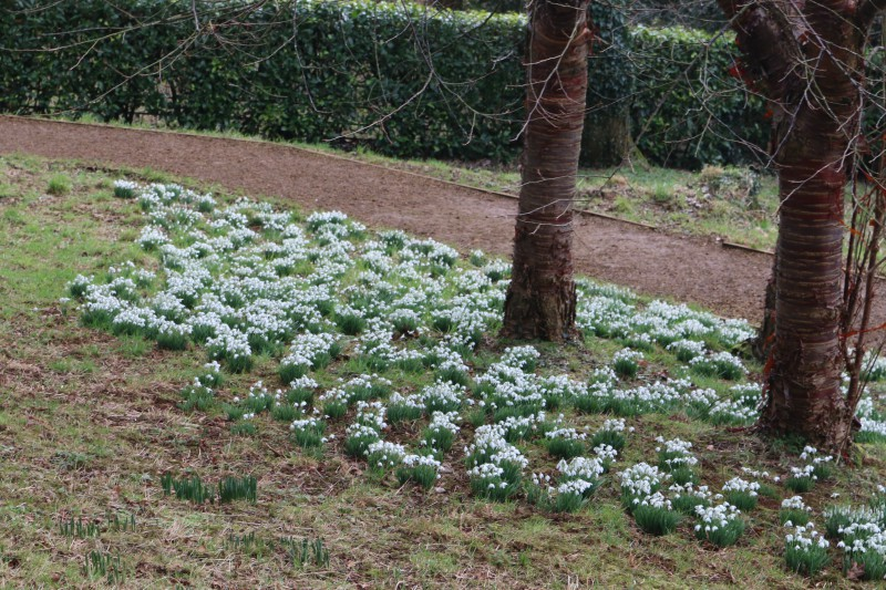 Snowdrops at Upton House