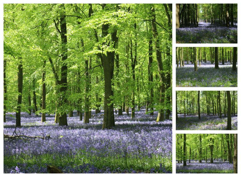 Bluebell spotting in Dockey Woods