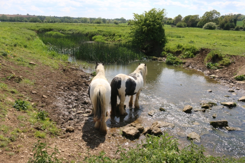 horses at the stream