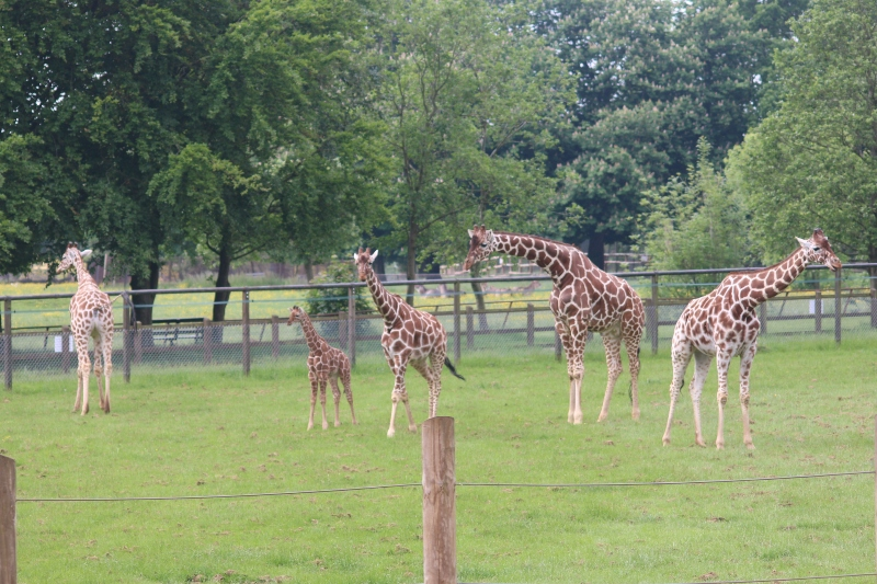 giraffes at Whipsnade Zoo