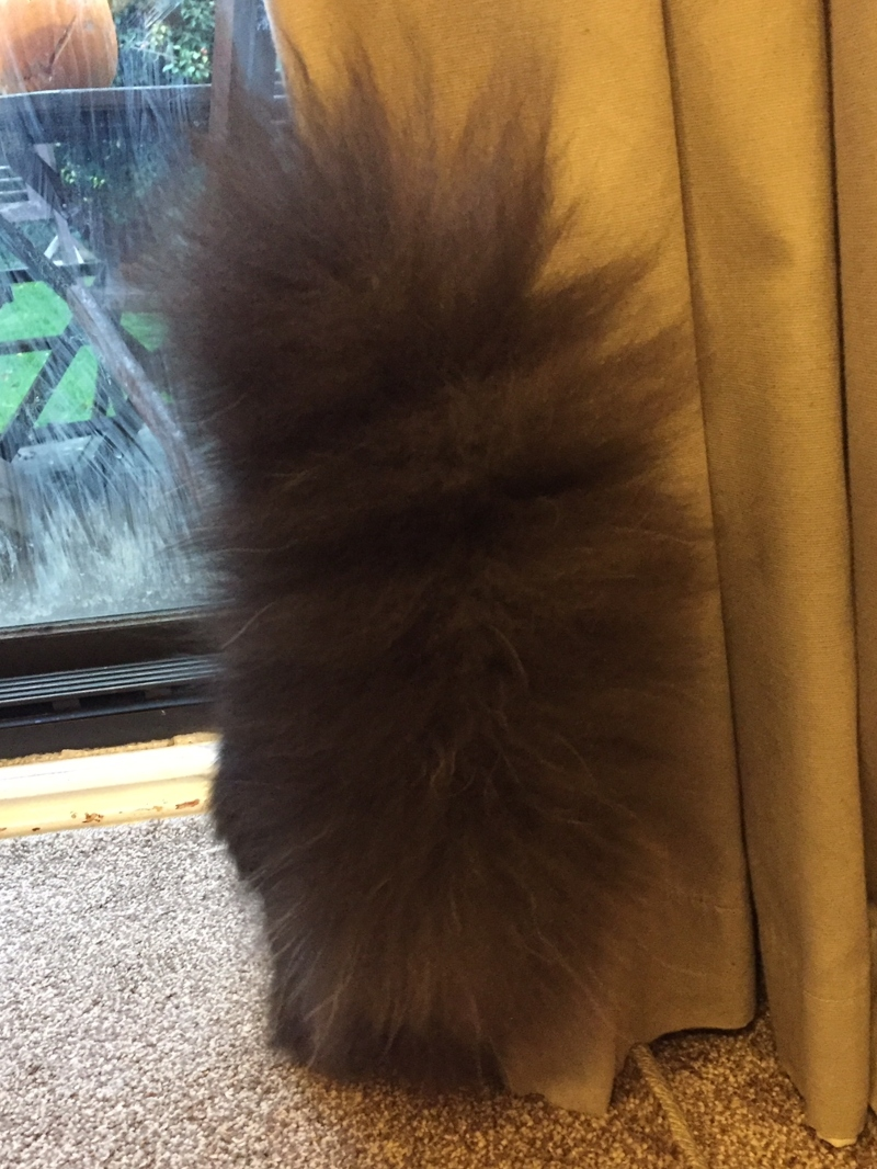 Norwegian Forest cat tail