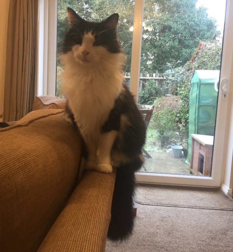 Tuxedo cat sitting on top of sofa