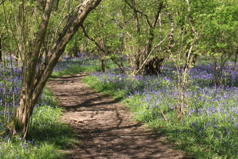 Favourite places to spot Bluebells across the country - Rushbeds Wood