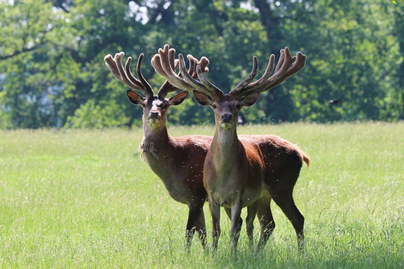 Deer at Woburn Deer Park