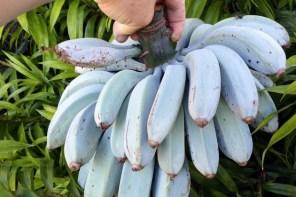 要來我家吃「藍蕉」嗎?這個連假你需要這個水果