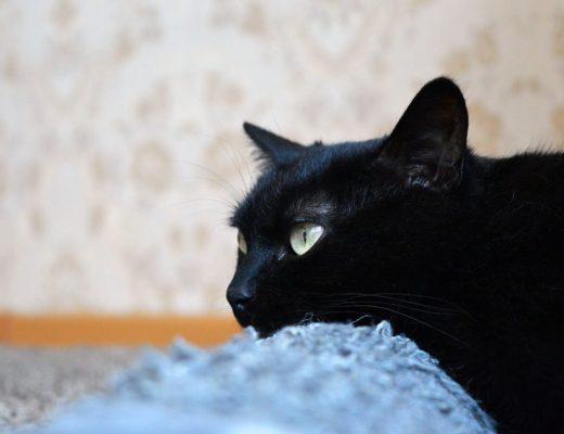 zwarte kat liggend