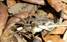 Wolf spider carrying off a green anole