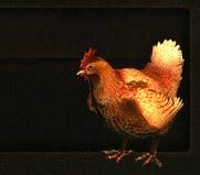 ChickenPet[1]