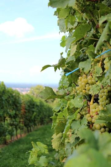 Richtig süß: Weintrauben am Heidelberger Dachsbuckel