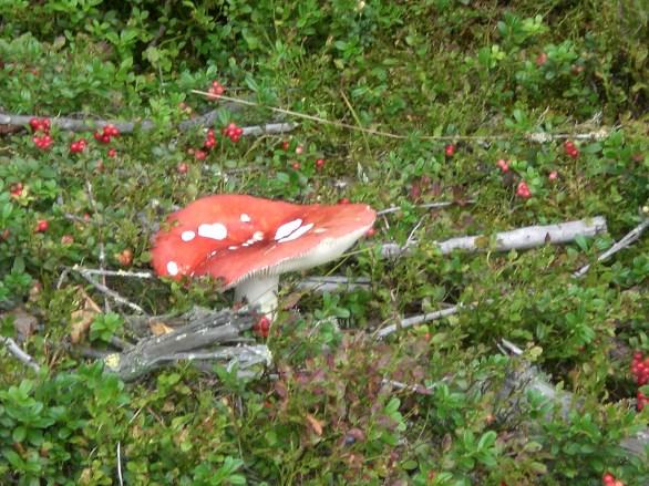 Preiselbeeren im finnischen Wald.
