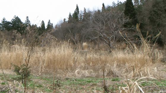 Abandoned farmland with invasive pampas grasses in Shikoku