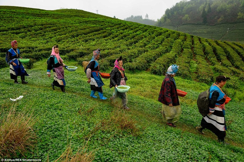 Farmers in a tea plantation in China ©Xinhua_REX_Shutterstock