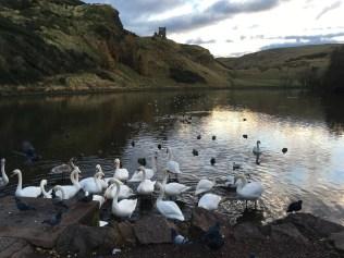 Swan in Holyrood Park's lake in Edinburg - ©Chloé Chateau