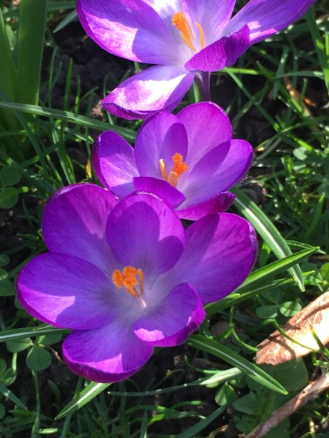 Crocuses in Cambridge