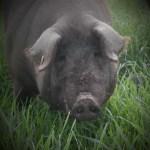 cerdo ibérico en libertad