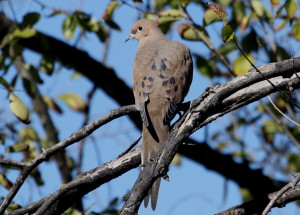 Mourning Dove 11
