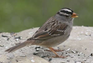 White Crowned Sparrow 4
