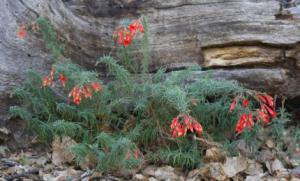 Narrowleaf fuchsia, Common in Malibu Area