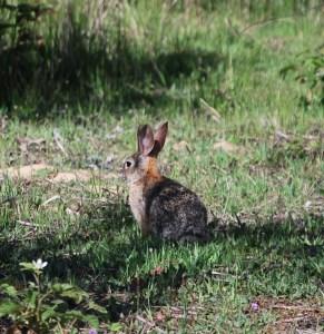 Brush Rabbit