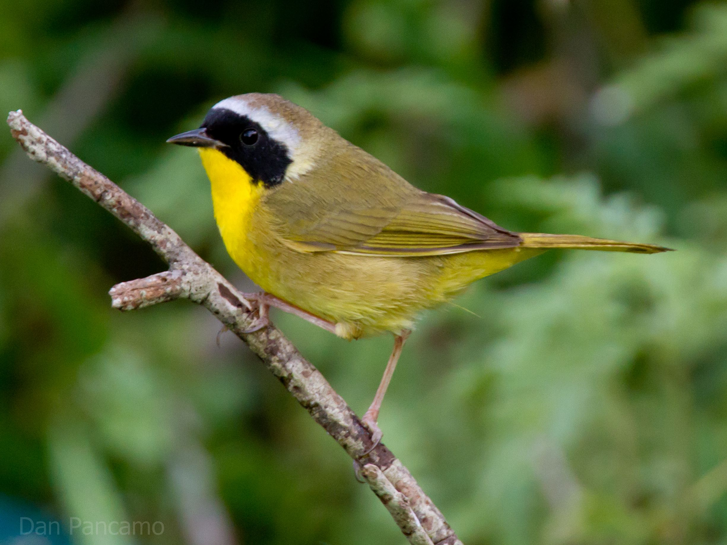 black bird with yellow stripe