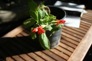 Scarlet Monkeyflower