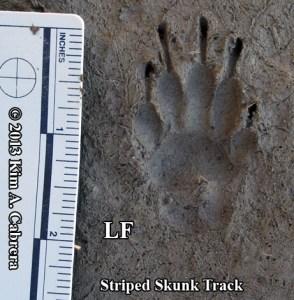 striped skunk track - left front foot
