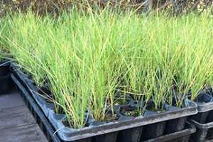 Volunteers Needed for a Native Grass Planting