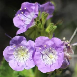 Large Flowered-Phacelia