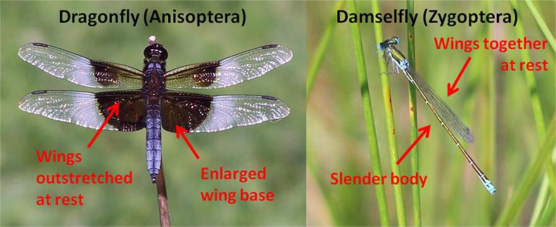Dragonflies And Damselflies Ovlc Ovlc