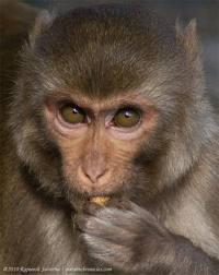 Um macaco rhesus.