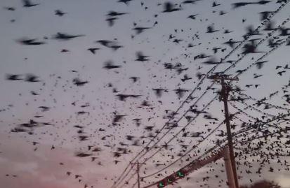 Milhares de pássaros invadem cidades do Texas, EUA 1