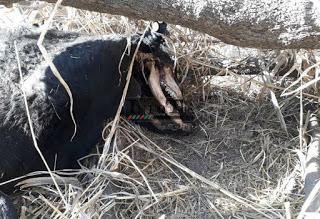 Mistério continua na Argentina: gato é novamente mutilado
