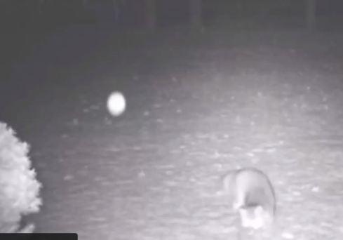 Raposa se assusta com aparição de globo de luz